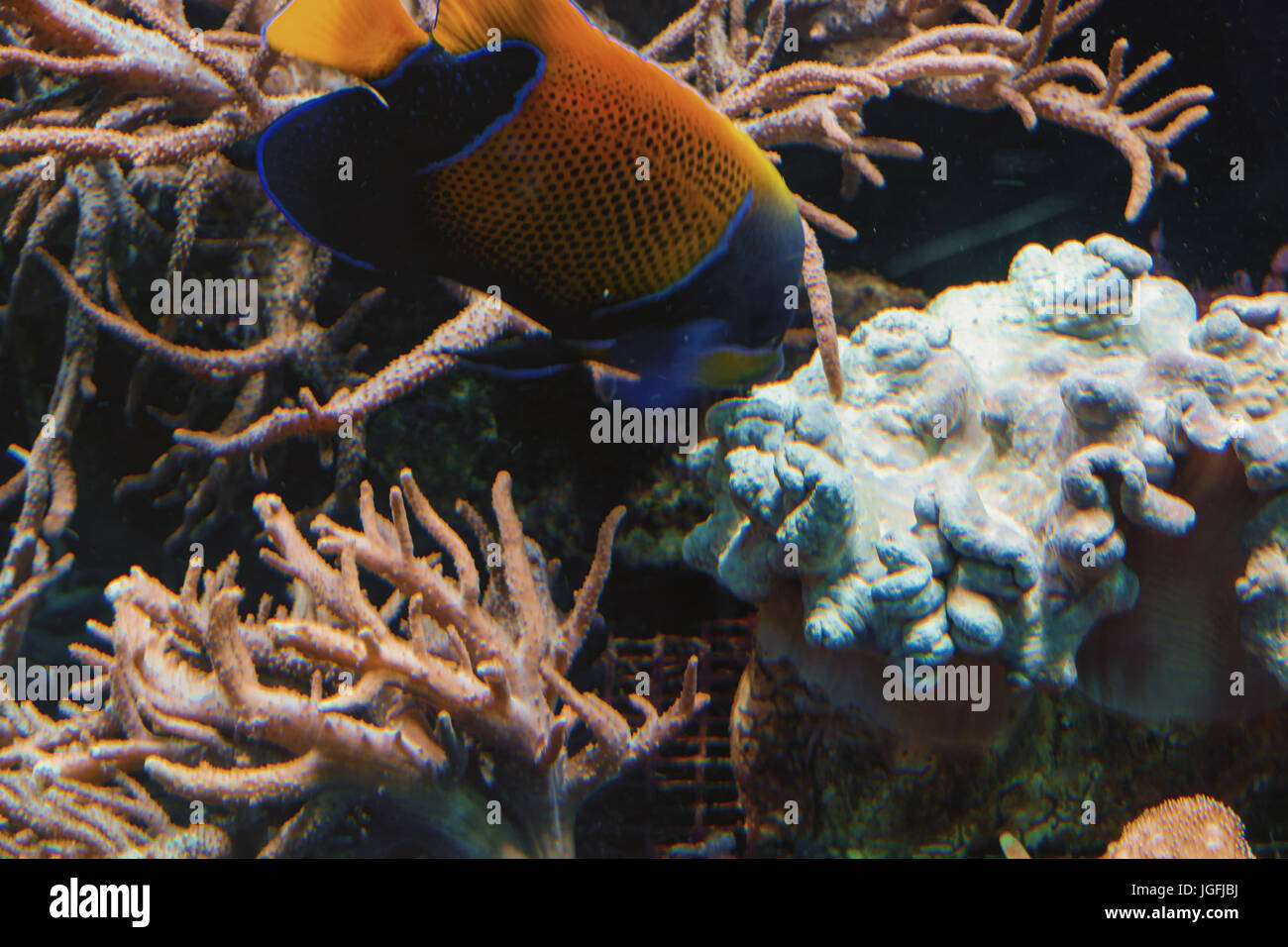 Underwater shot, fish in an aquarium with coral and sea anemone. - Stock Image
