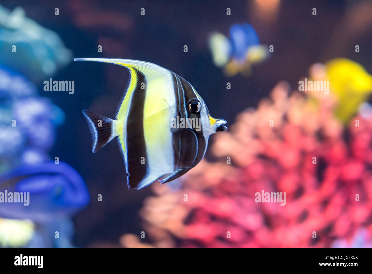 Moorish idol fish with striped pattern on body of yellow, white and black colors swims near stones and colorful - Stock Image