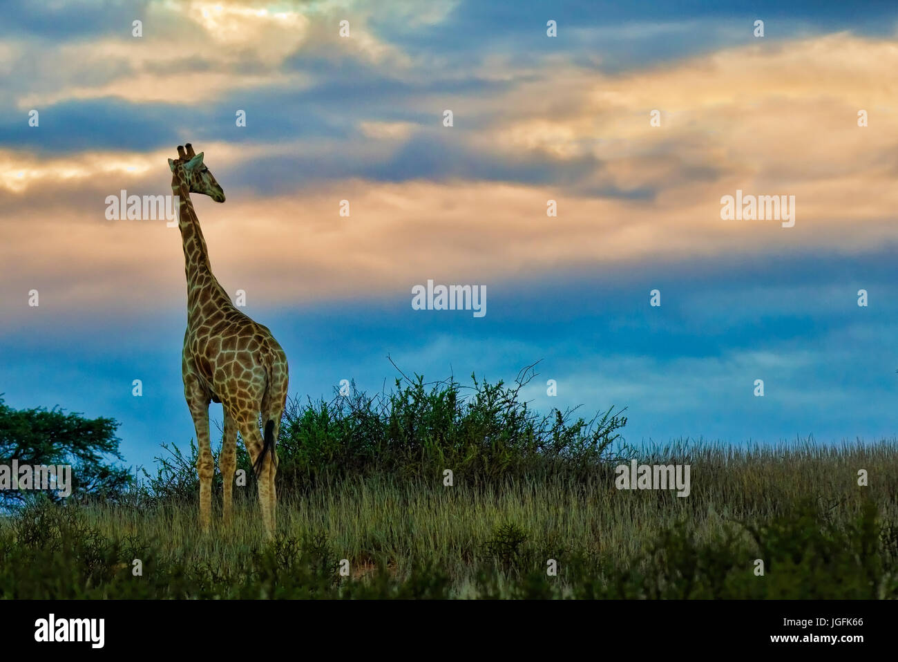 Giraffe ,Giraffa camelopardalis, is the tallest animal and the biggest ruminant. Seen here at sunset very alert - Stock Image