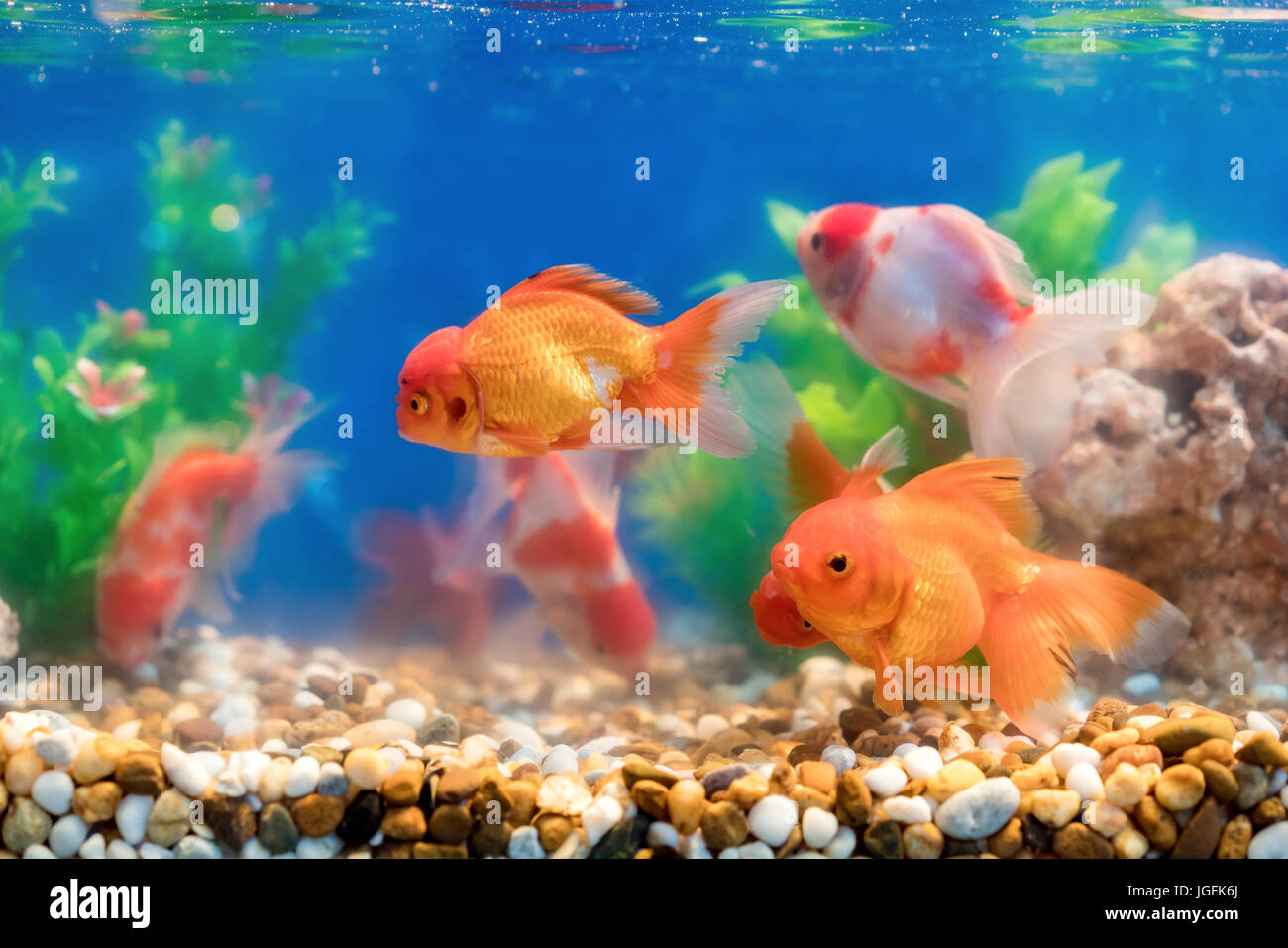Goldfish In Freshwater Aquarium With Green Beautiful Planted Tropical Stock Photo Alamy