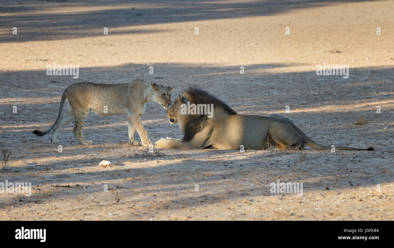 Lion cub makes a tentative approach to the big black maned Lion, Panthera leo, Lions are intolerant of young that - Stock Image