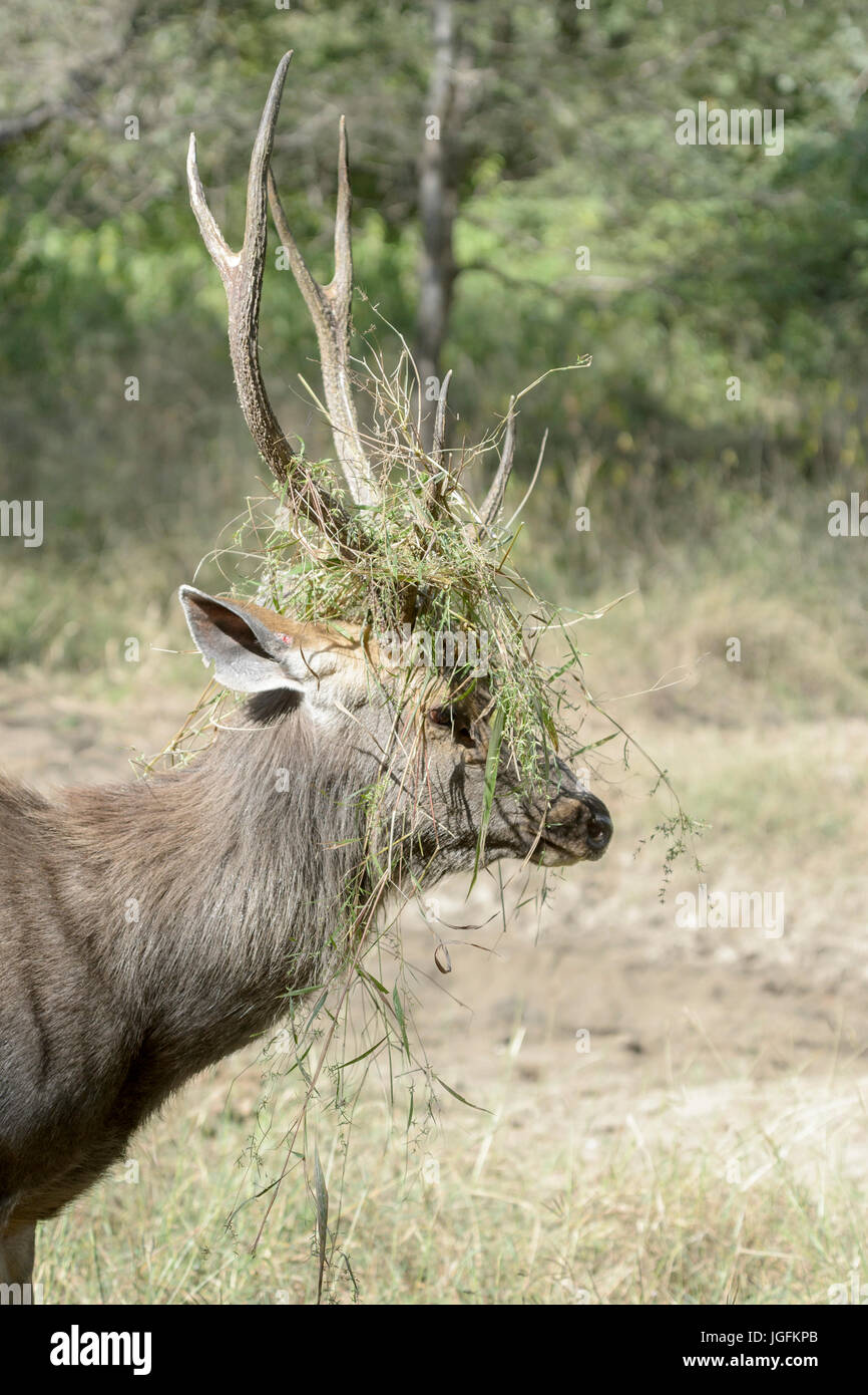 Sambar deer (Rusa unicolor, Cervus unicolor) stag portrait, with grass between antlers during rut, Ranthambhore - Stock Image