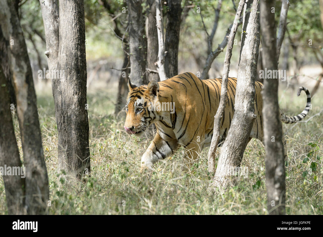 Royal bengal tiger (Panthera tigris tigris) walking in forest, Ranthambhore National Park, Rajasthan, India. Stock Photo