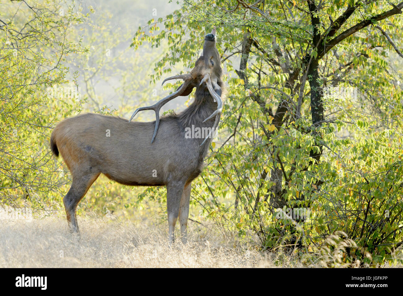 Sambar deer (Rusa unicolor, Cervus unicolor) stag, feeding on a tree with backlight, Ranthambhore national park, - Stock Image