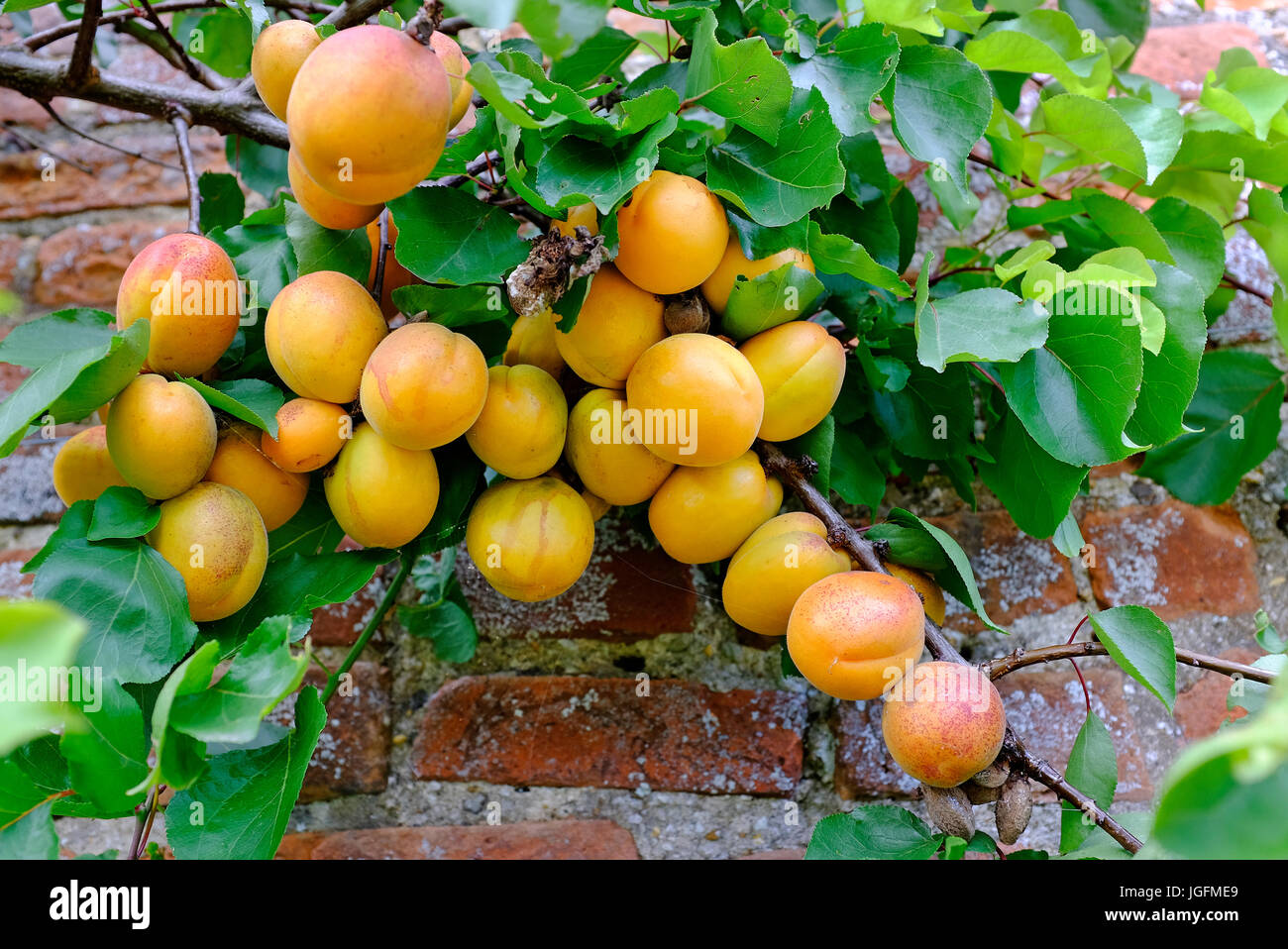 apricots growing on tree in english walled garden, norfolk, england - Stock Image