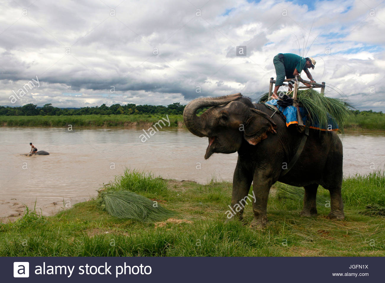 A Mahout climbs on top of his elephant, while another one bathes in the river. - Stock Image