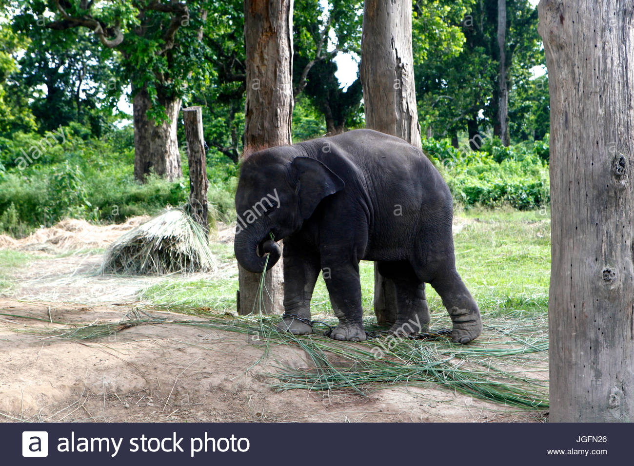 An elephant calf at the Elephant Breeding Center in Chitwan National Park. - Stock Image