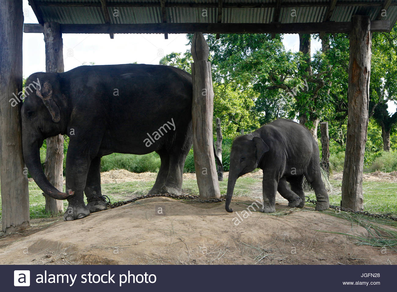An elephant calf with mother at the Elephant Breeding Center in Chitwan National Park. - Stock Image