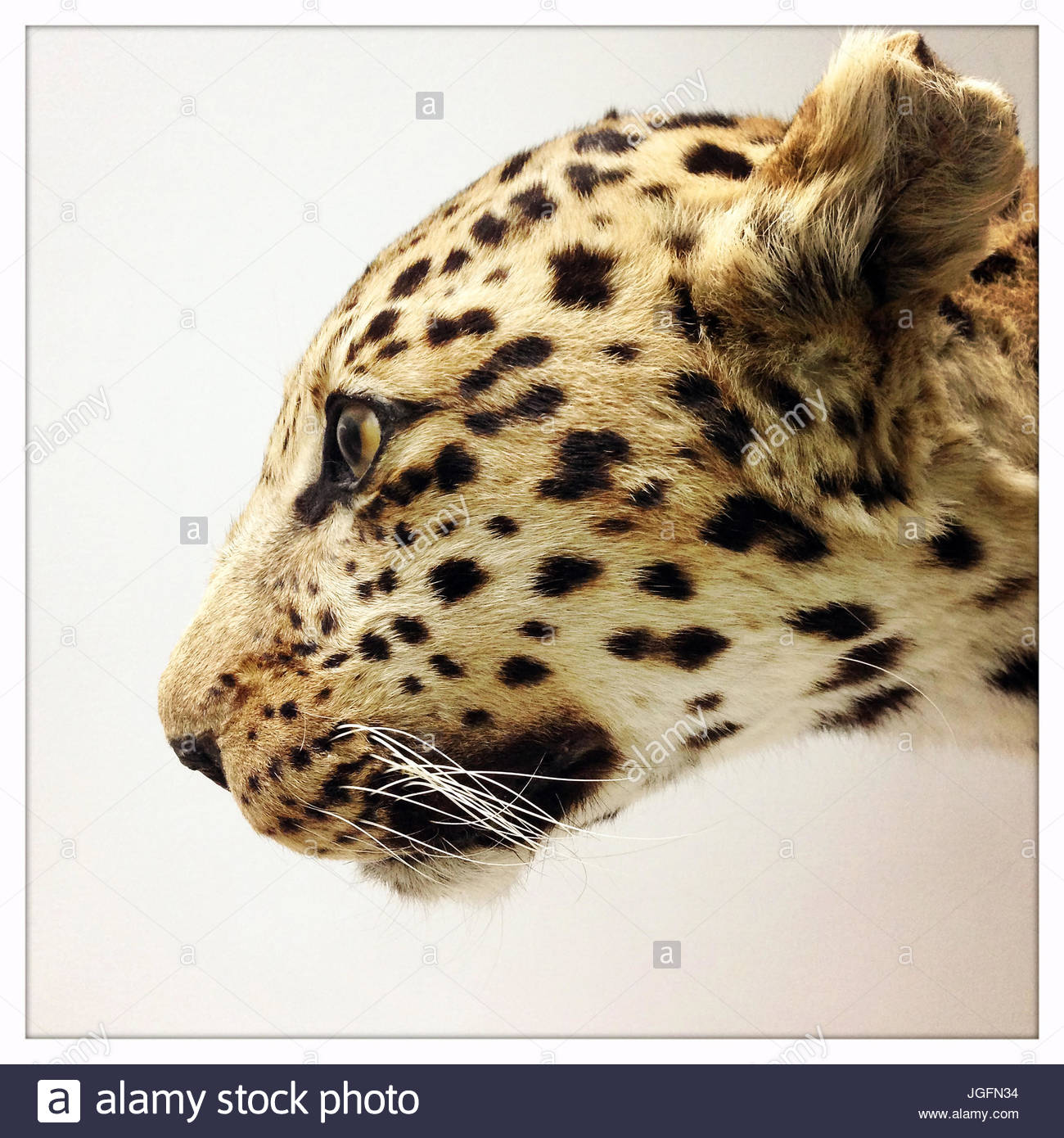 A stuffed leopard on display in the Natural History Museum in Beijing, China. - Stock Image