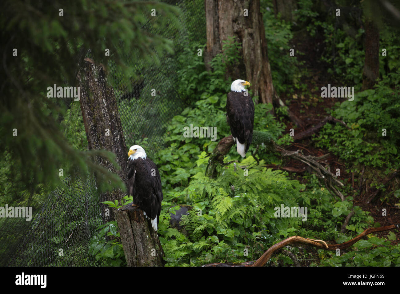 At Sitka, Alaska's Raptor Center, two American bald eagles are perched on trees within dense forest. - Stock Image