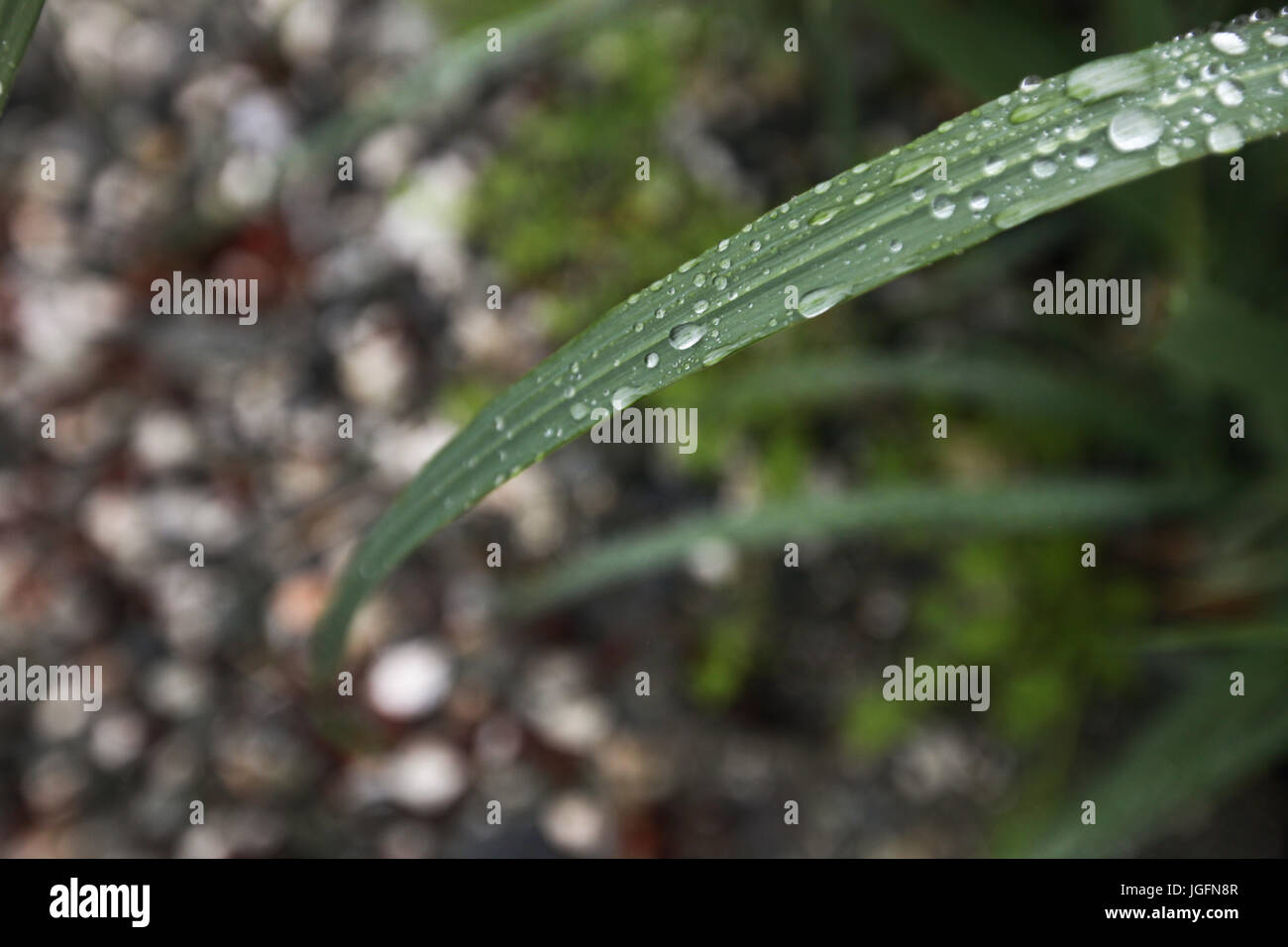 Dew and water droplets rest on a blade of grass. - Stock Image