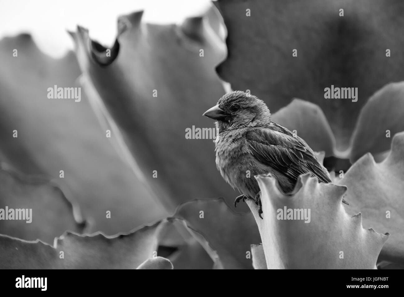 Black and white image of a sparrow perched on succulent vegetation - Stock Image