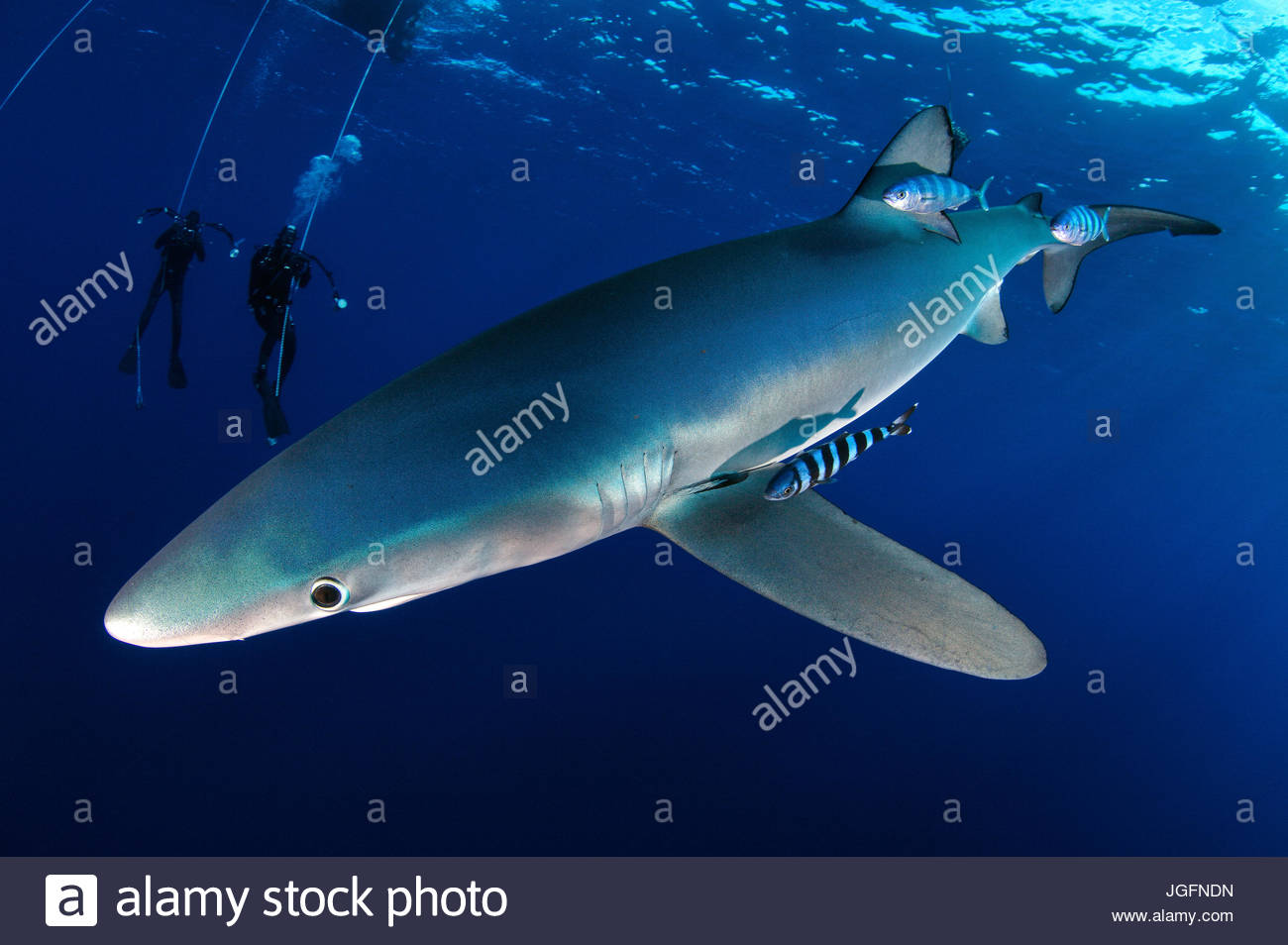 A blue shark accompanied by pilot fish.  Two scuba divers are seen in the distance. - Stock Image