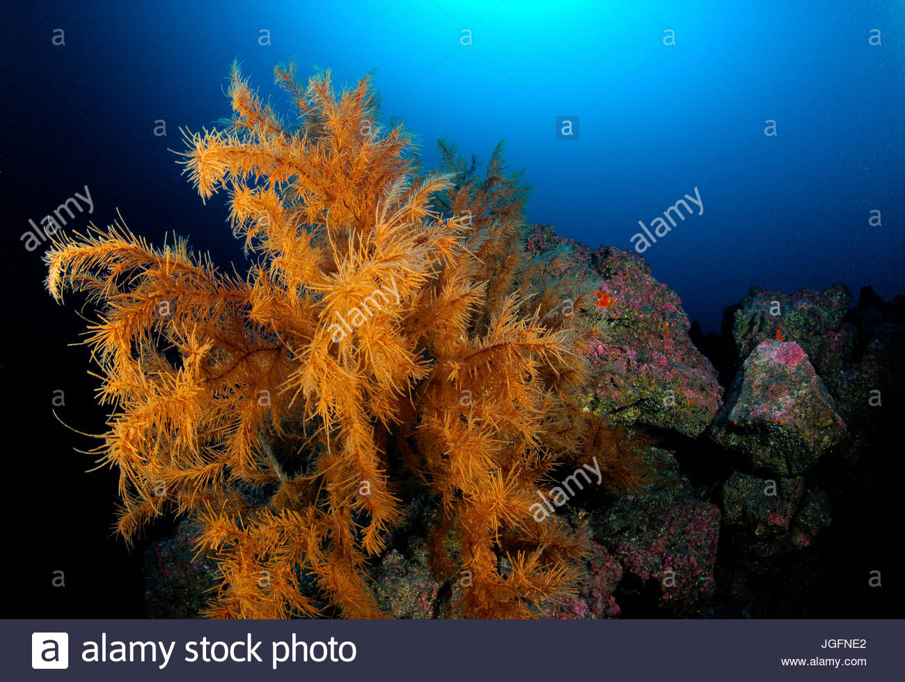A tree-like group of black corals (Antipatharia) observed off the coast of the Azores at the depth of 50 meters. - Stock Image