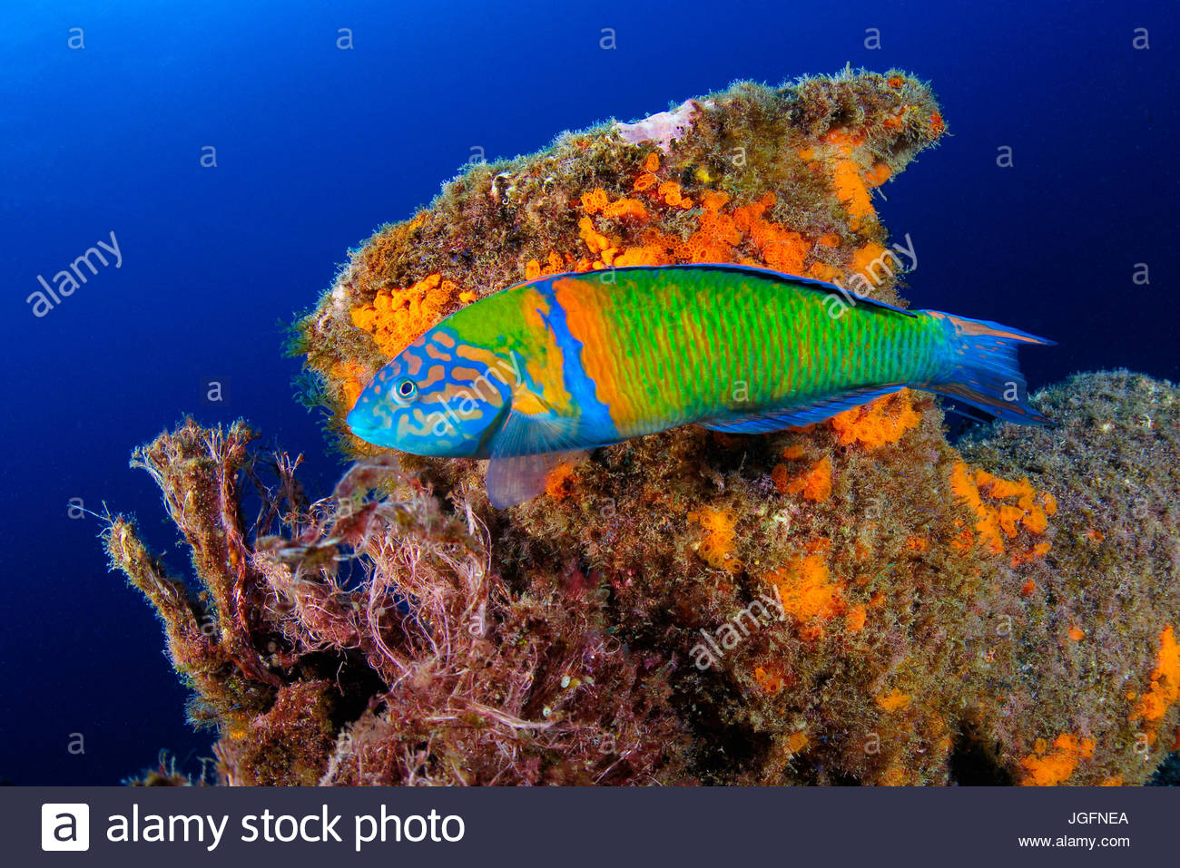 The ornate wrasse, Thalassoma pavo, is a species of wrasse native to the eastern Atlantic Ocean. Here it swims along - Stock Image