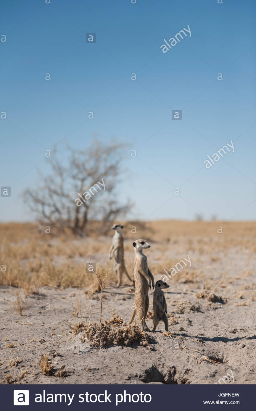 Meerkats thrive in the dry climate of the Makgadikgadi Salt Pans. - Stock Image