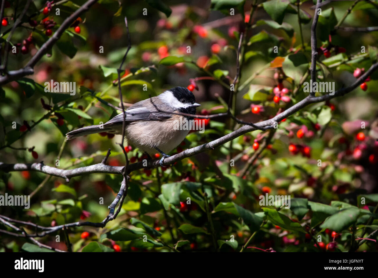 A chickadee perches on a tree branch. - Stock Image