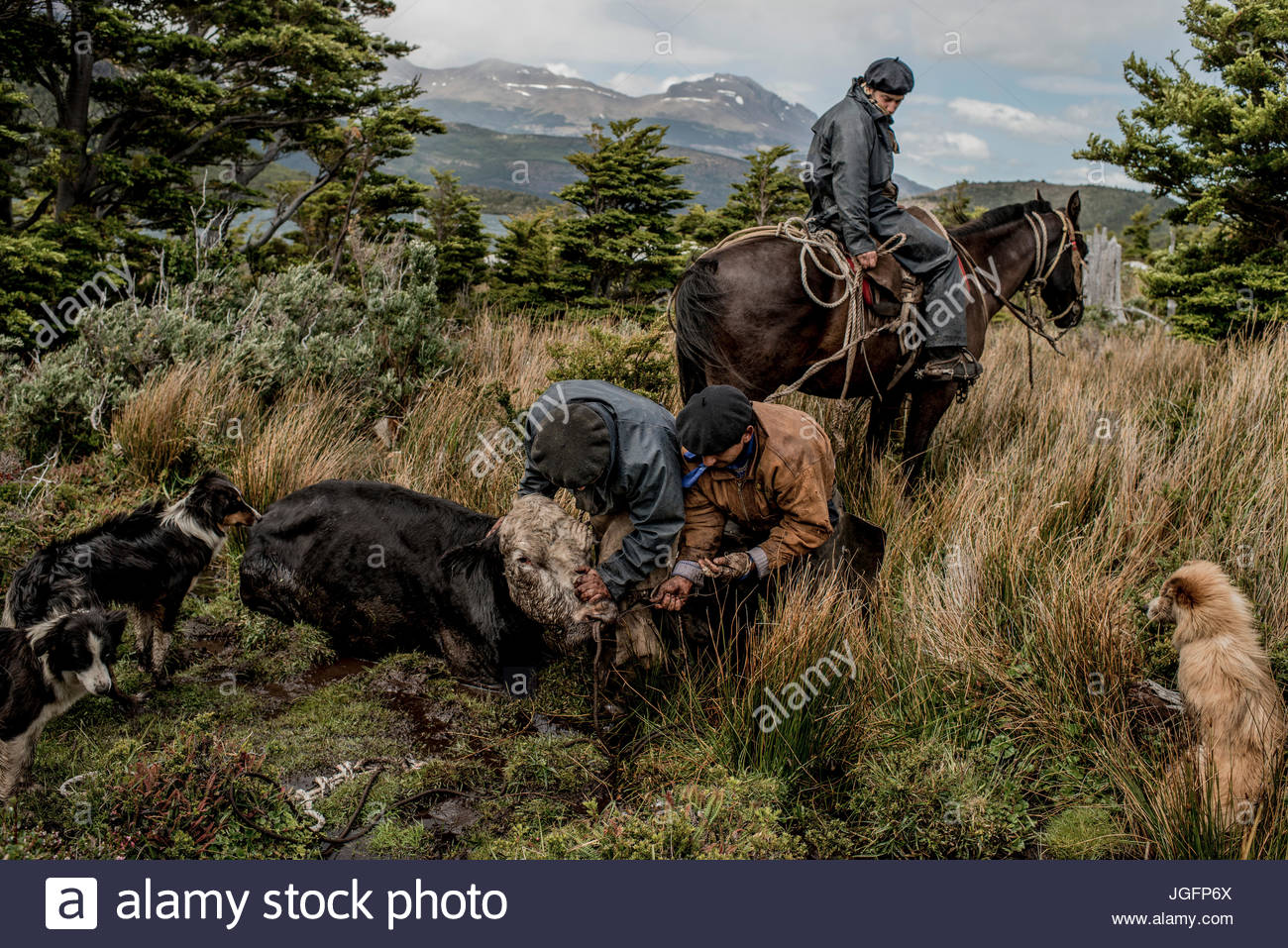 Bagualeros, cowboys who capture feral livestock, untie from a tree, a cow feral cow that was caught and tie it to - Stock Image