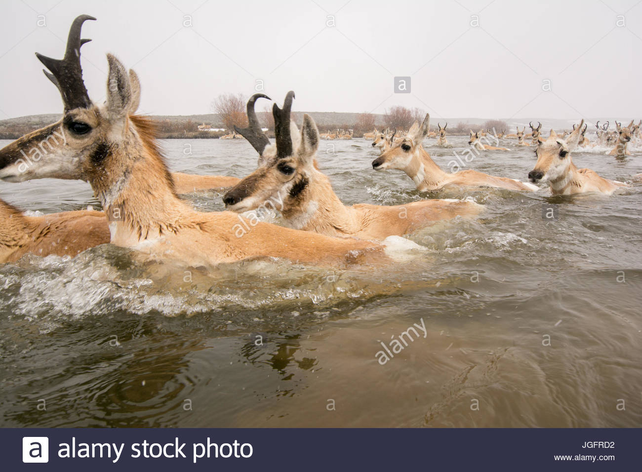 Pronghorn crossing a river during migration in Wyoming. - Stock Image