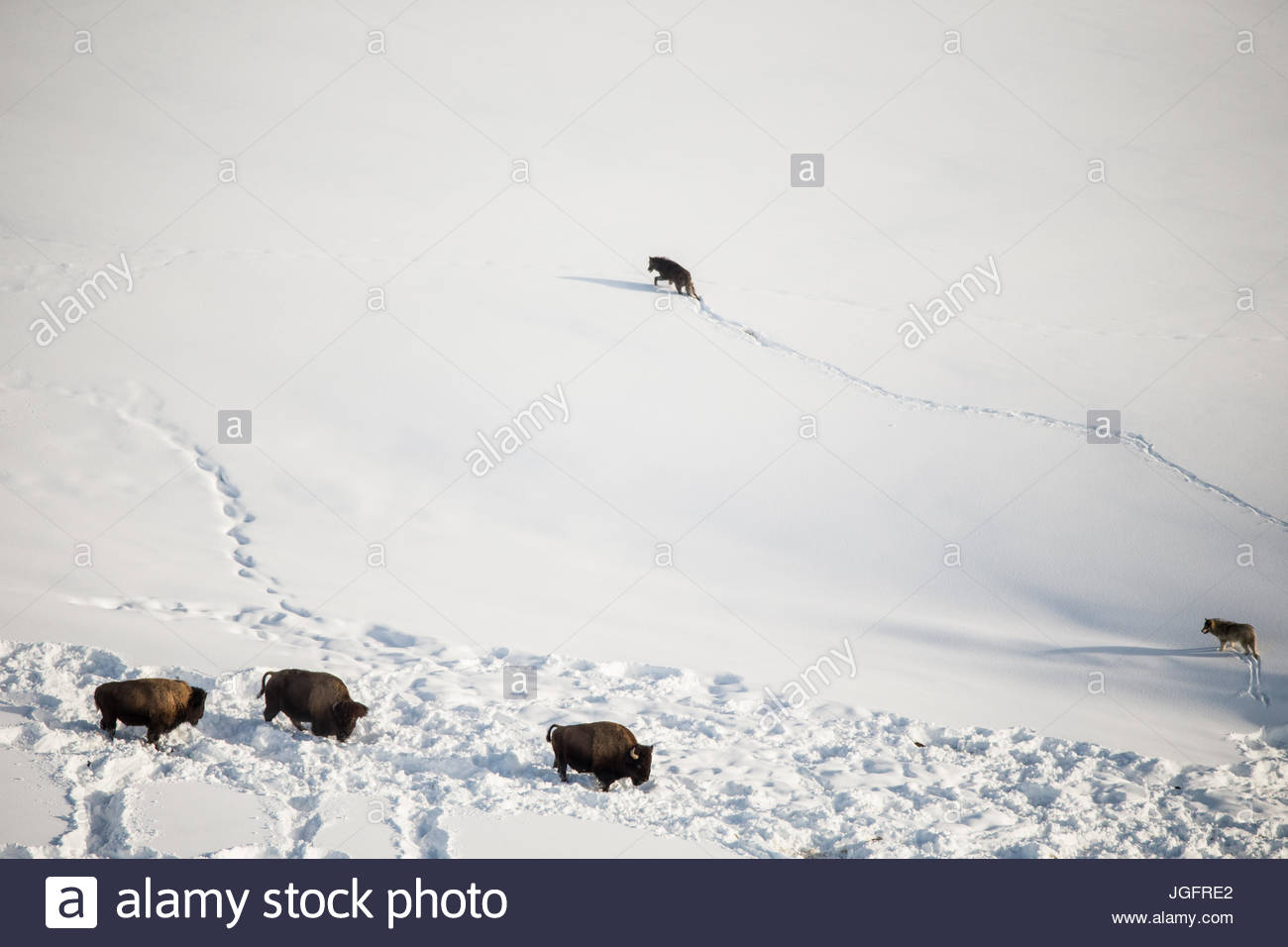 Gray wolves from the Mollie's Pack confront bison. - Stock Image