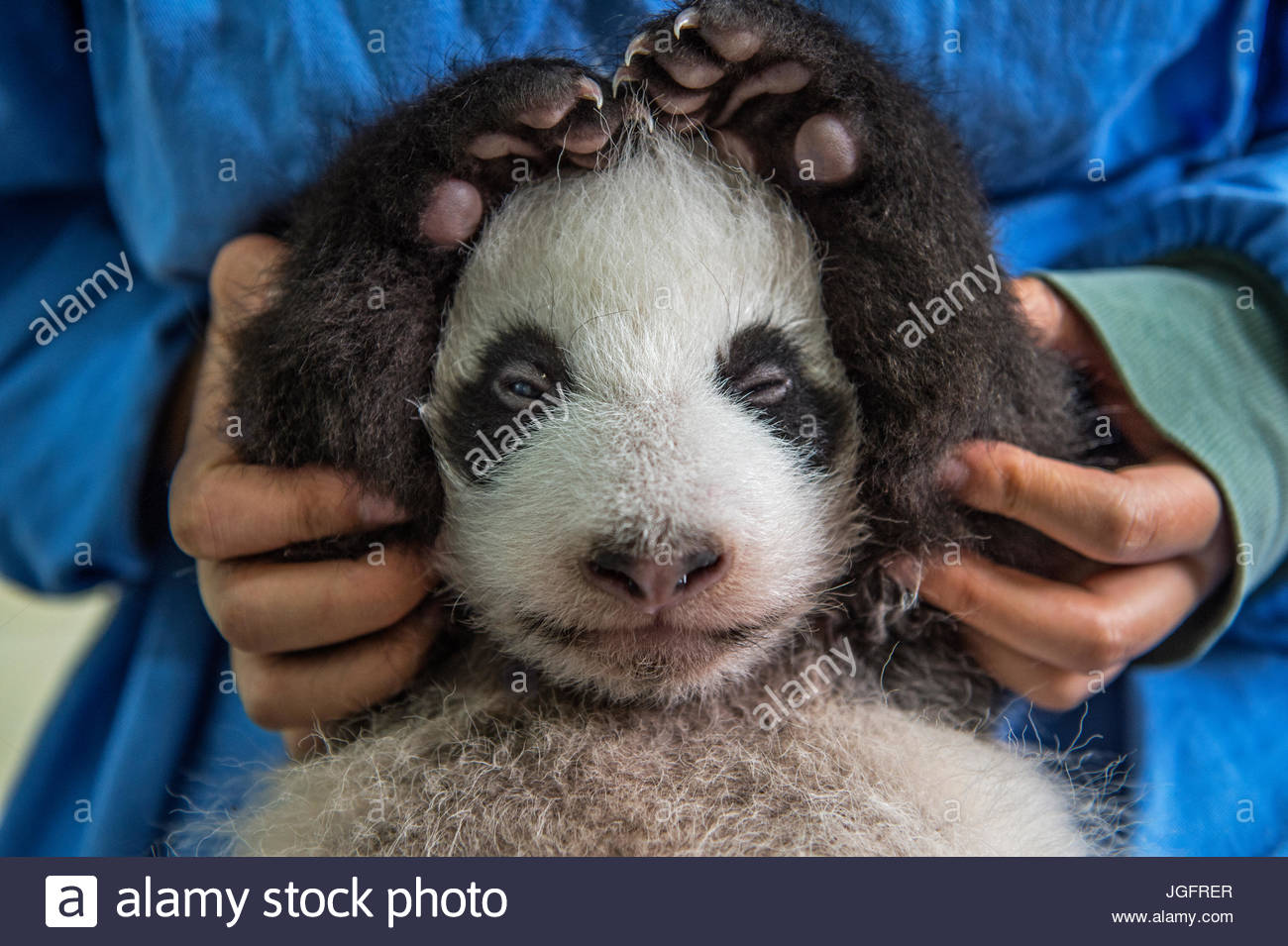 A two month old giant panda cub is cared for at the Bifengxia Giant Panda Breeding and Research Center in Sichuan - Stock Image