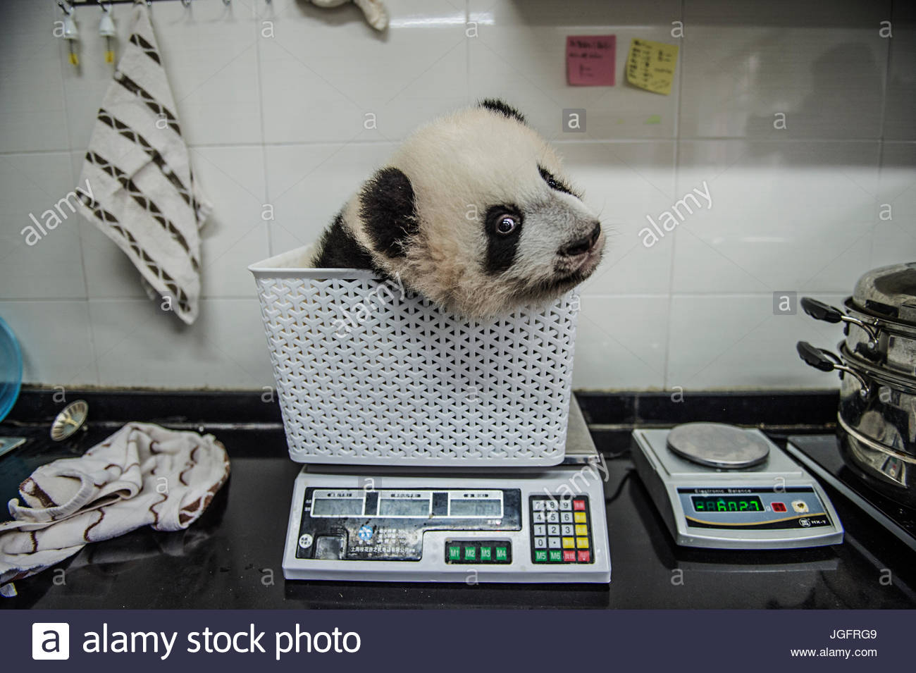 A giant panda cub gets weighed at Bifengxia Giant Panda Breeding and Research Center. - Stock Image