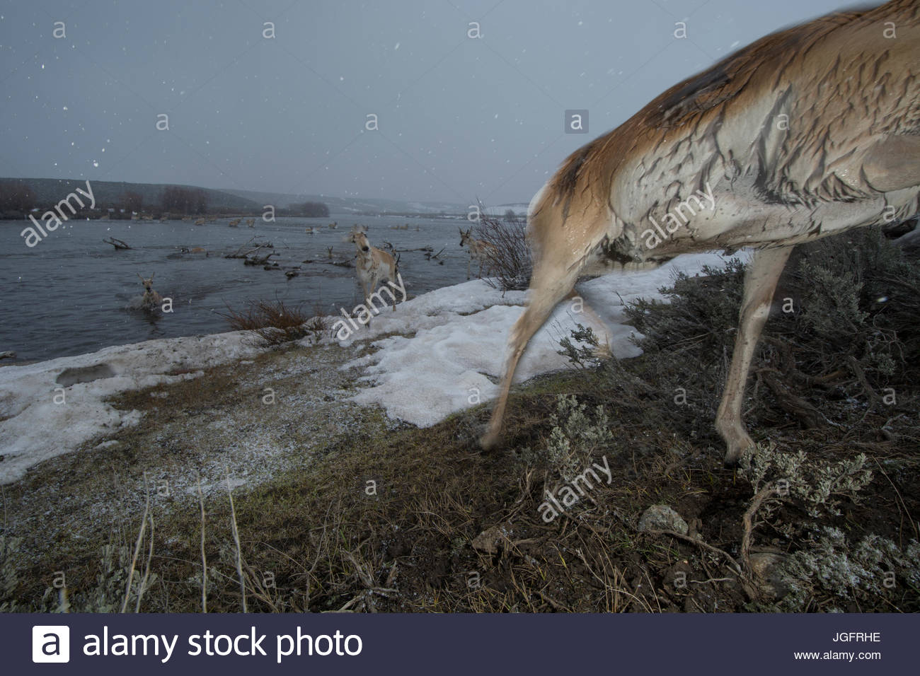 A remote camera captures a pronghorn during migration in Wyoming. - Stock Image