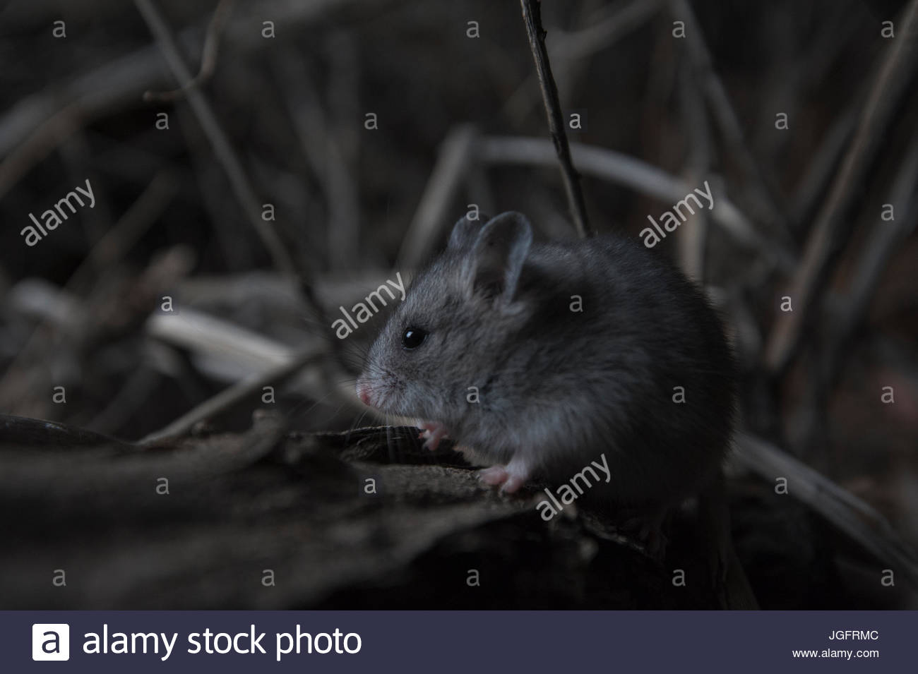A Gobi vole in Mongolia's Great Gobi Strictly Protected Area. - Stock Image