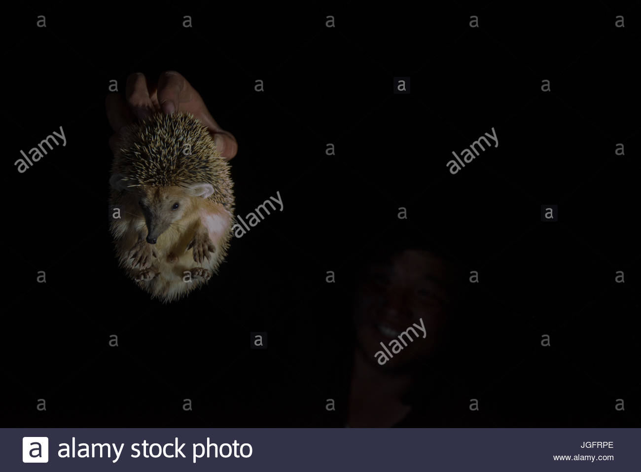 A long eared hedgehog in the Great Gobi Strictly Protected Area. - Stock Image