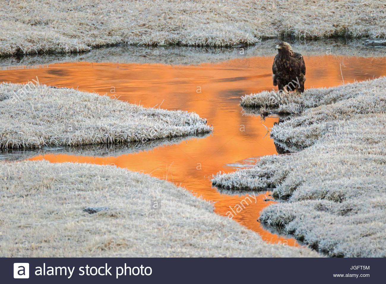 A golden eagle, Aquila chrysaetos, standing at the water's edge in Yellowstone National Park. - Stock Image