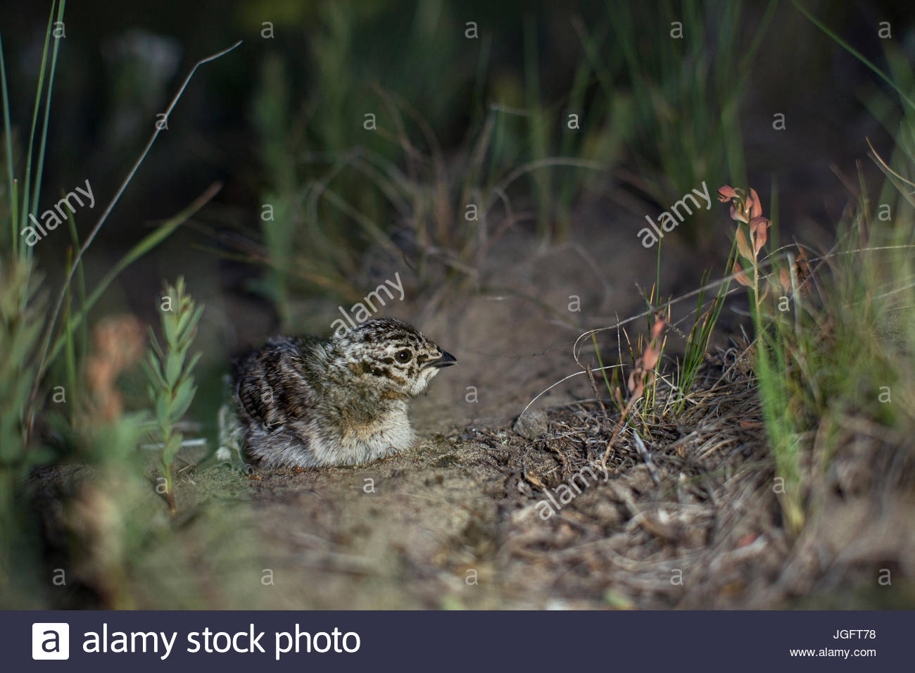 A greater sage grouse, Centrocercus urophasianus. - Stock Image