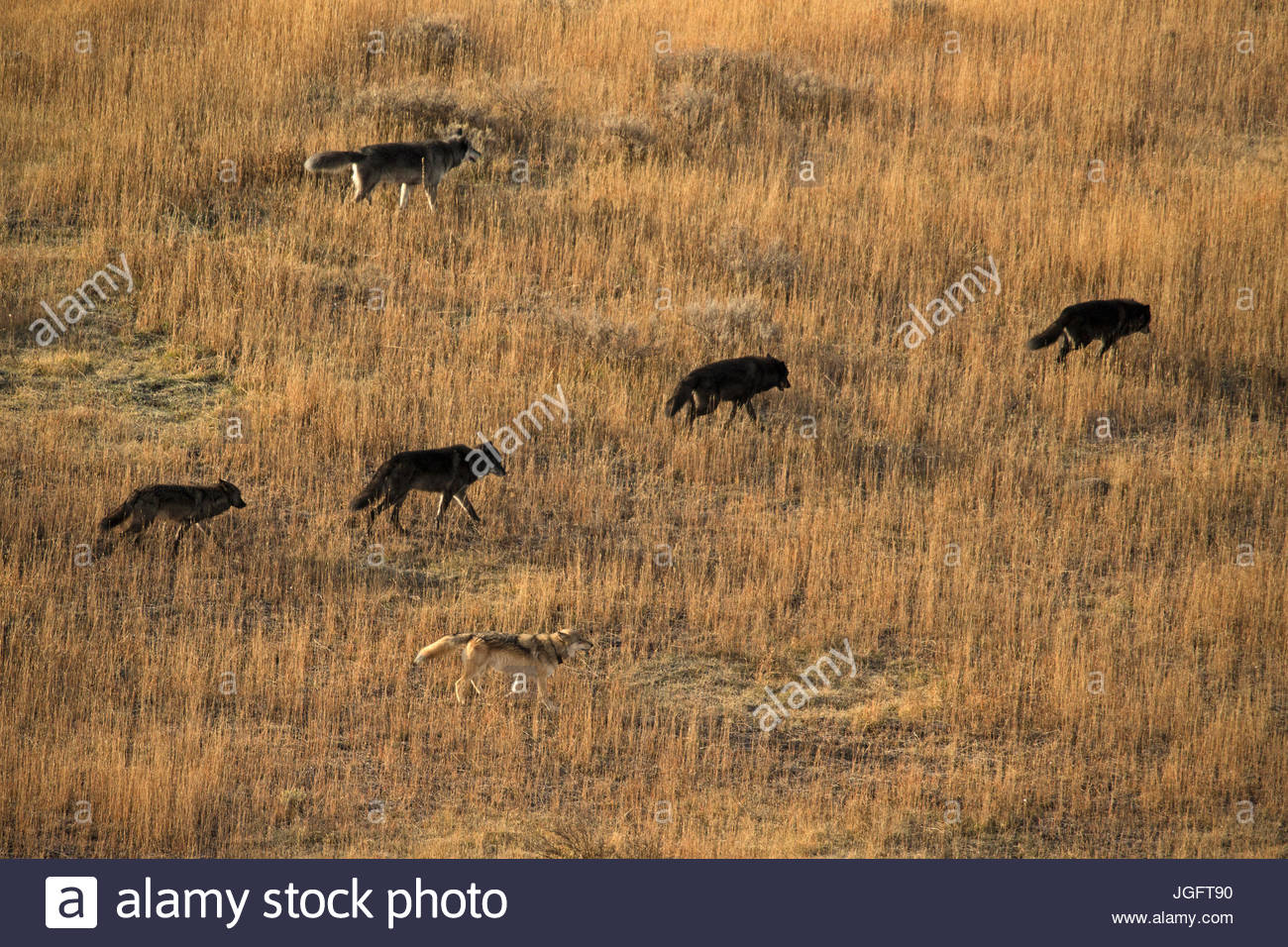 Gray wolves from the Eight Mile wolf pack on the move in Yellowstone National Park, Wyoming. - Stock Image