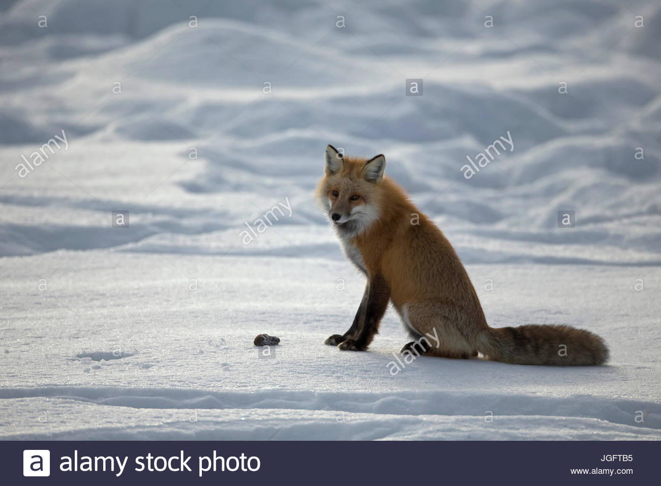 A red fox, Vulpes vulpes, hunting in Yellowstone National Park. Stock Photo