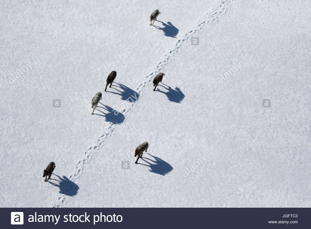 A pack of gray wolves on the move in Wyoming's Yellowstone National Park. - Stock Image