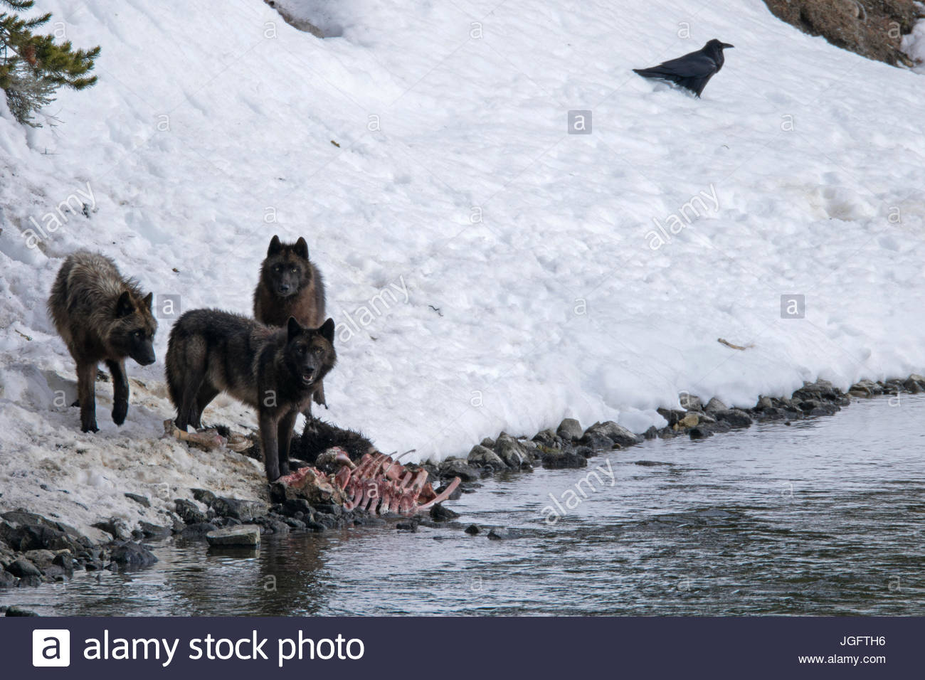The alpha female of the Mollie's wolf pack and her two year-old offspring feast on the carcass of a bison that - Stock Image