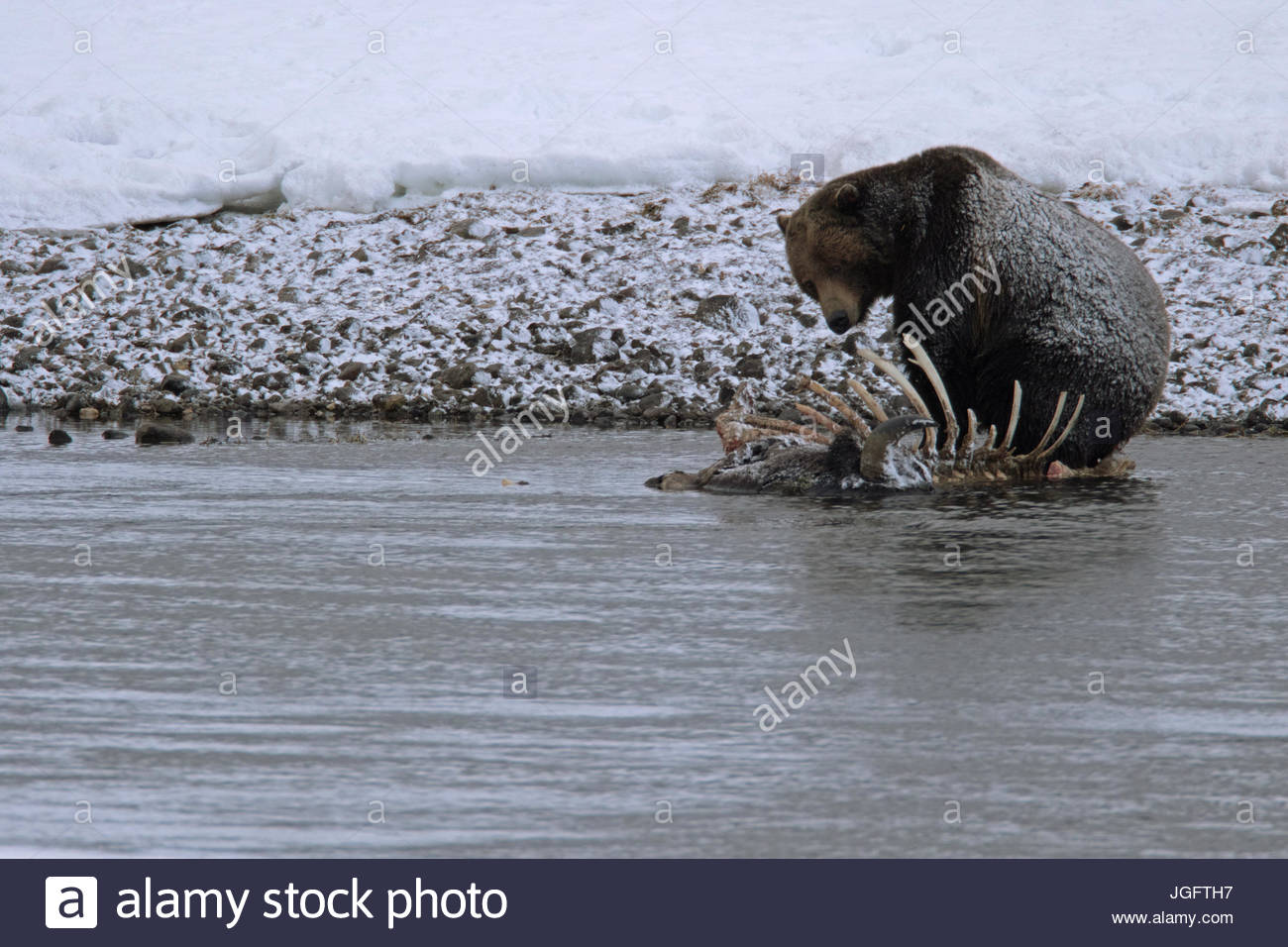 A grizzly bear, Ursus arctos horribilis, feeds on a bison carcass in the Yellowstone River. - Stock Image
