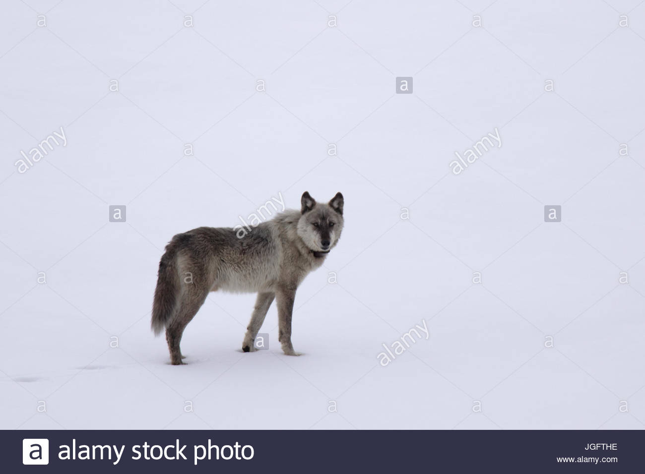 A male gray wolf, Canis lupus, wearing a tracking collar. - Stock Image