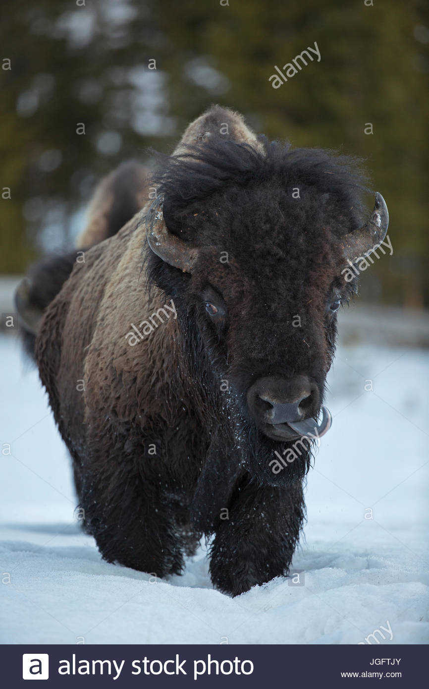 An American bison, Bison bison, walks in the snow. Stock Photo