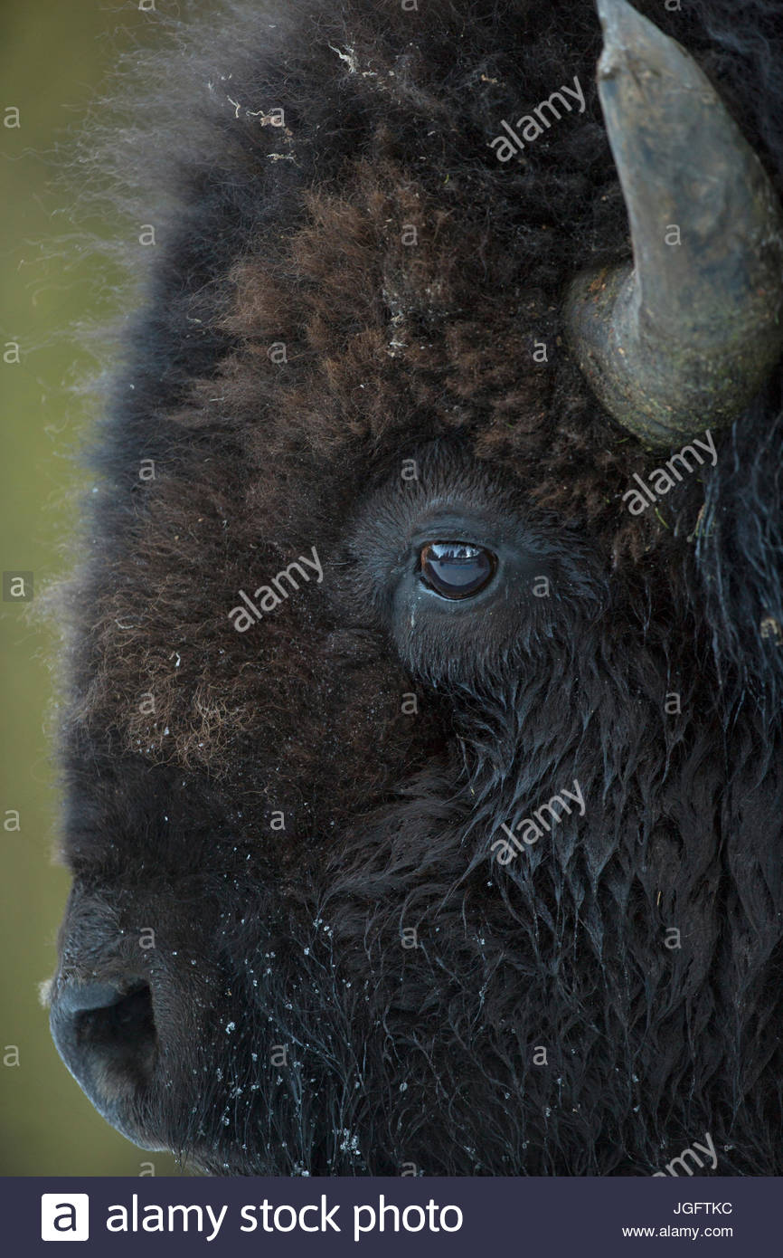 Portrait of an American bison, Bison bison. Stock Photo