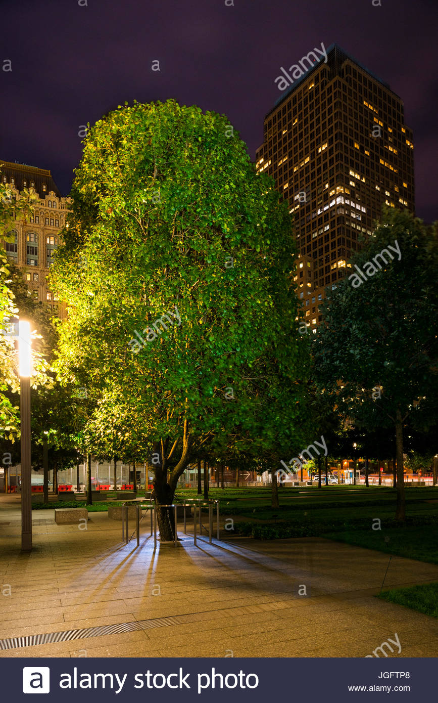 A resilient Callery pear tree, that survived September 11, grows at the National September 11 Memorial and Museum. - Stock Image