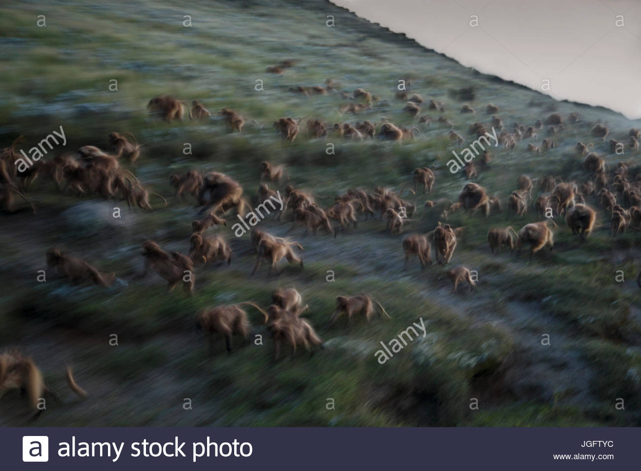 As darkness falls on Guassa, geladas break into a run down a slope toward their sleeping cliffs. - Stock Image