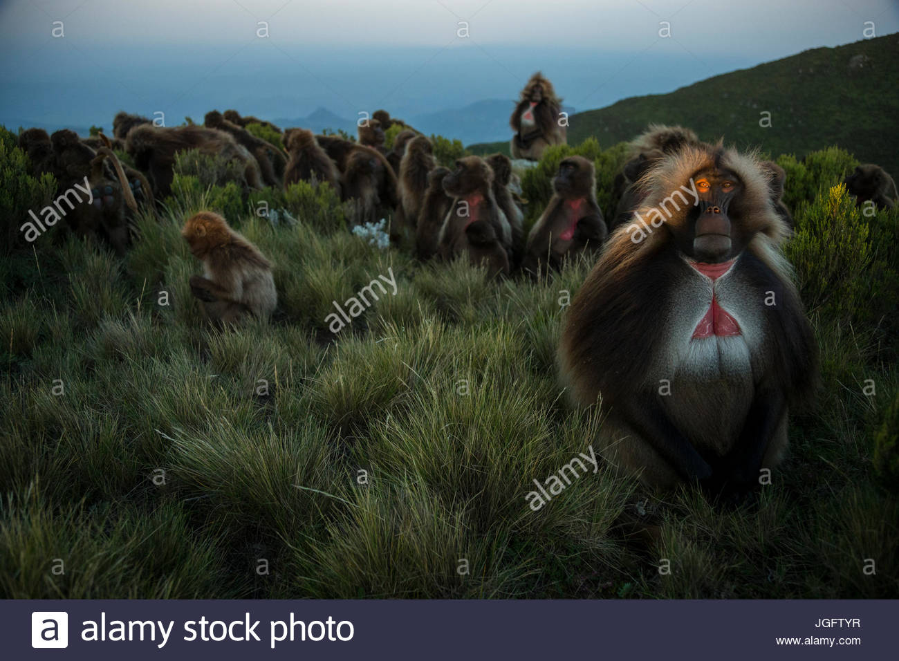 An adult male gelada keeps an eye out for threats as the sun sets. - Stock Image