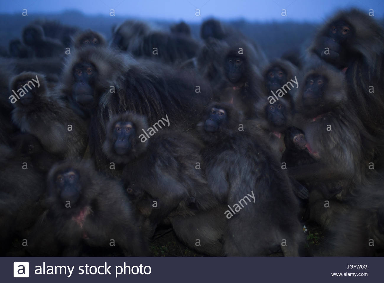 When fog blankets the grasslands, predators emerge and geladas often form groups with all eyes facing outwards looking - Stock Image