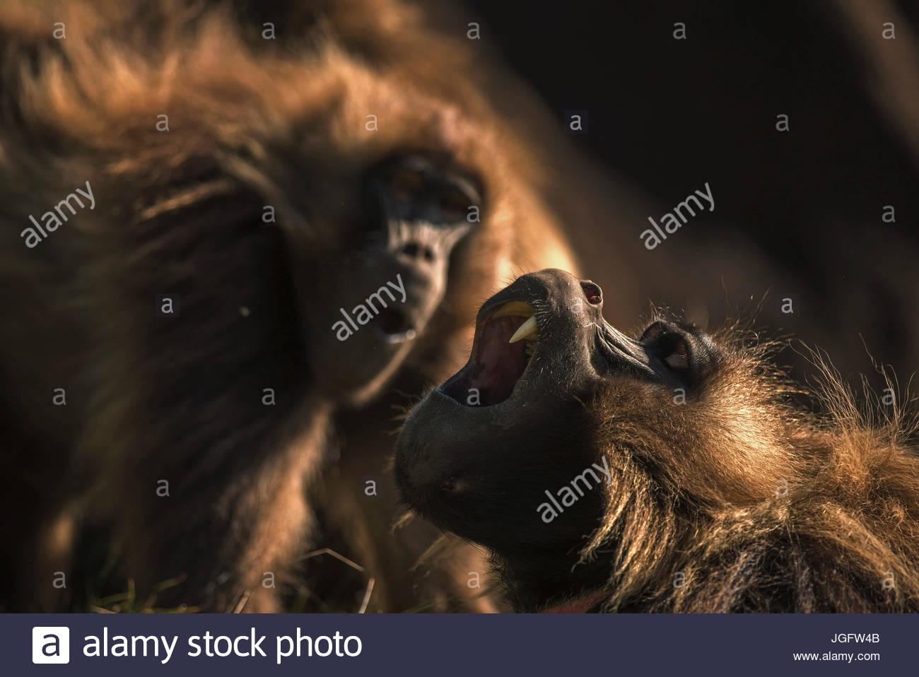 Gelada's outsize canines are used when fighting, threatening other males, or defending themselves against predators. - Stock Image