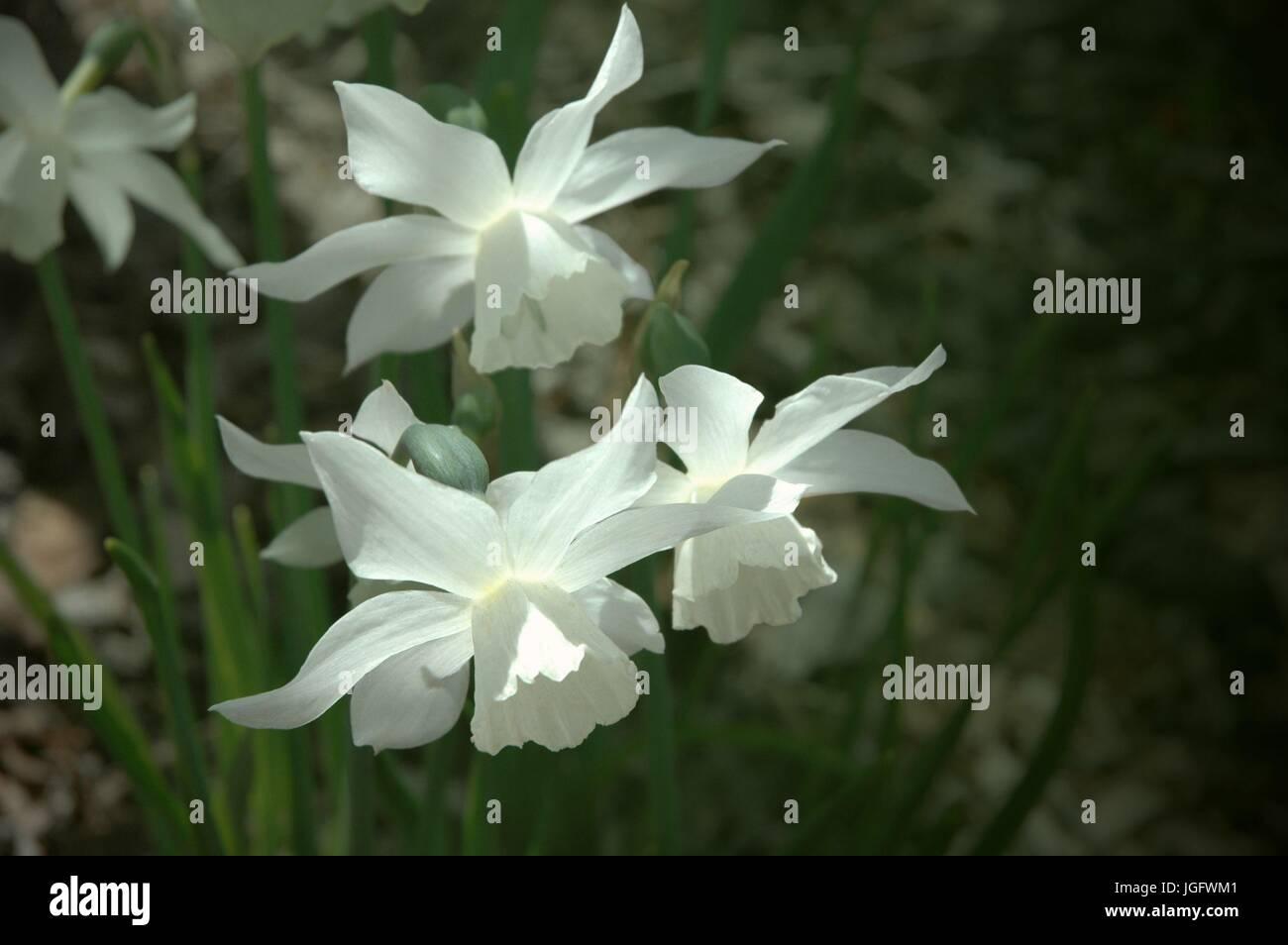 elegant white jonquils blooming in the early morning light Stock Photo
