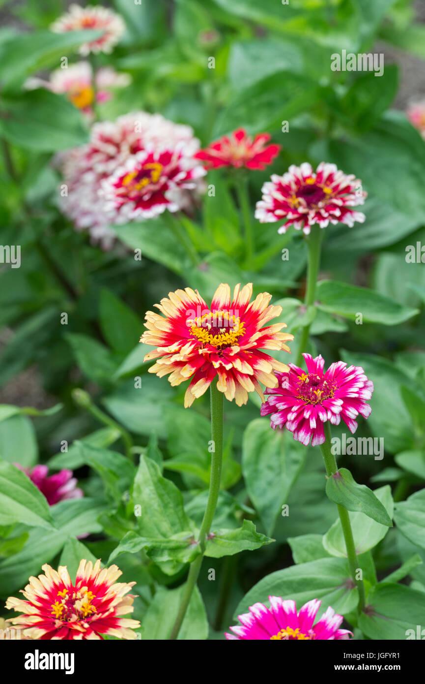 Zinnia hybrida. Zinnia elegans 'Whirligig improved mixed' flowers Stock Photo