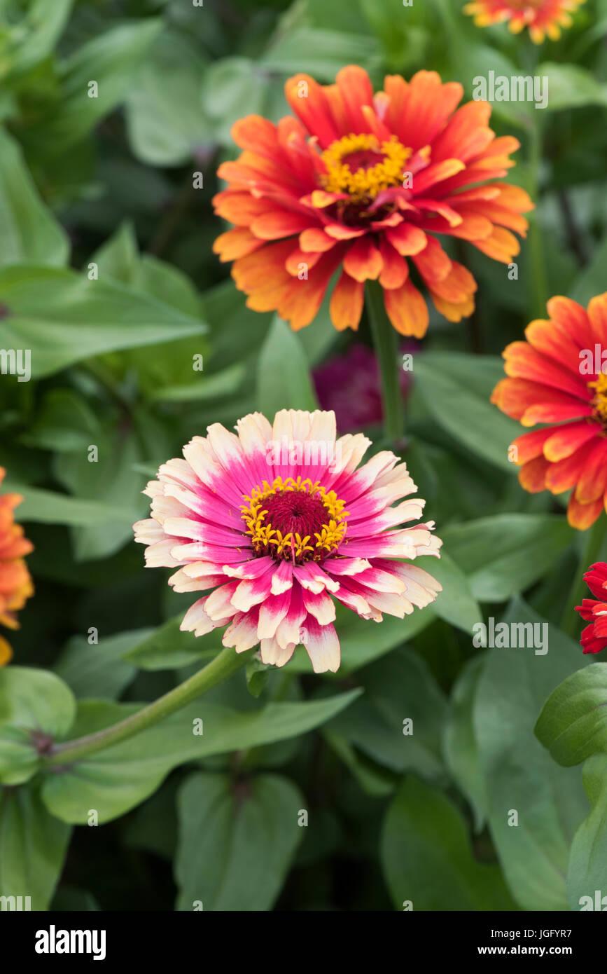 Zinnia hybrida. Zinnia elegans 'Whirligig improved mixed' flowers - Stock Image