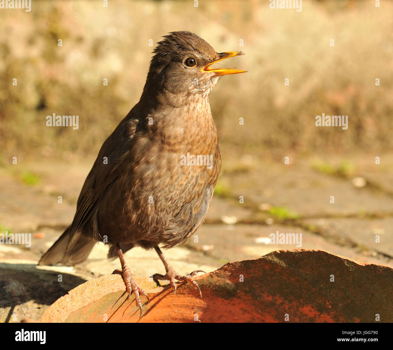 Not only people suffer from the heat of Summer. A young blackbird (Turdus merula) pants to keep cool in the heat - Stock Image