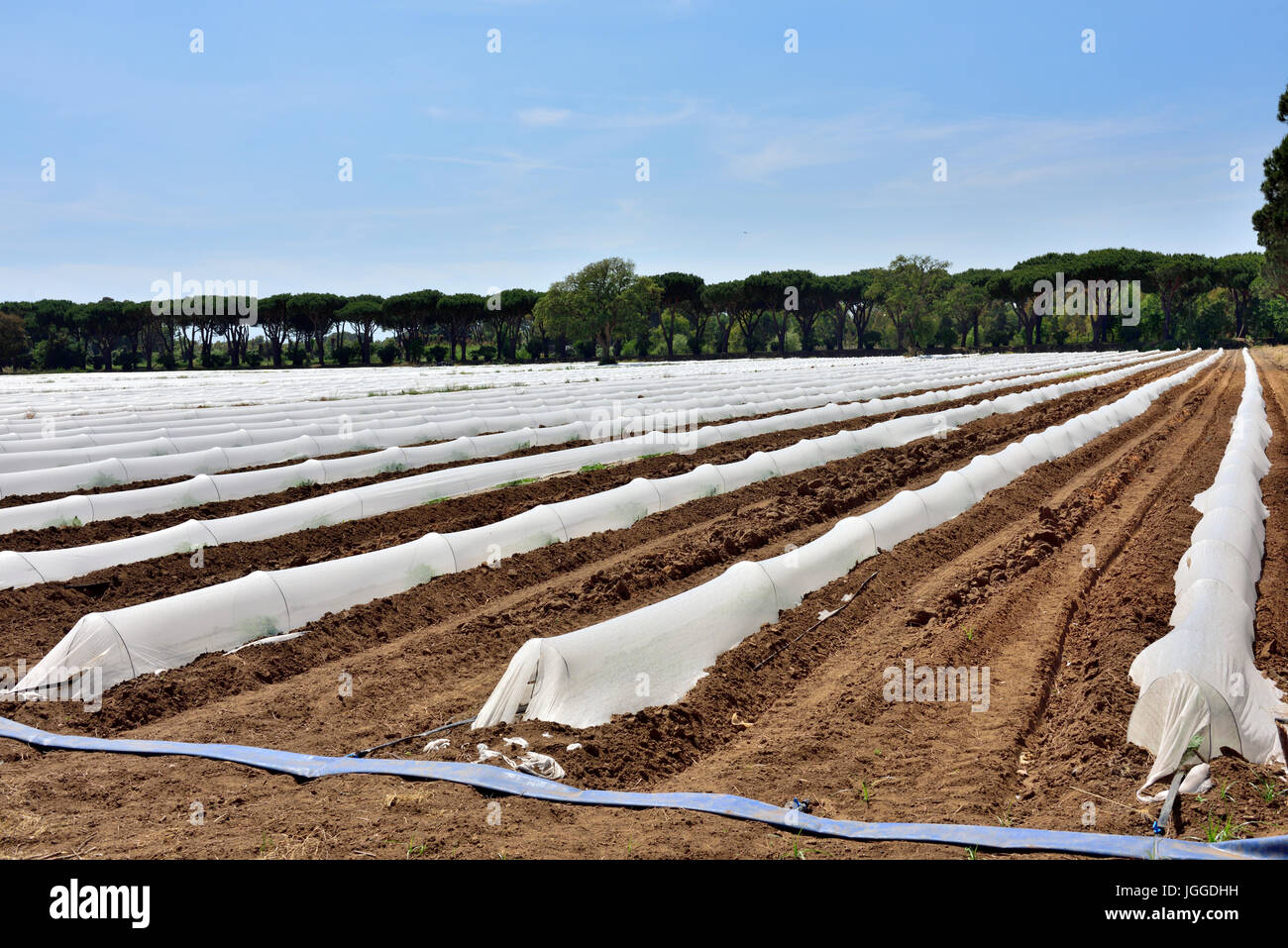 Commercial agricultural field with horticultural polythene fleece film cloches to conserve water and protect new - Stock Image