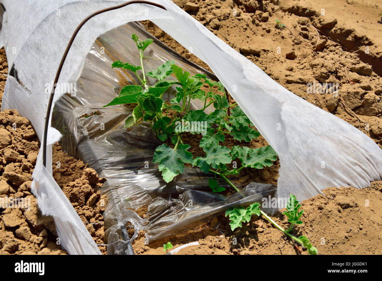 Close up of commercial agricultural horticultural fleece and plastic ground cover cloche for water conservation - Stock Image